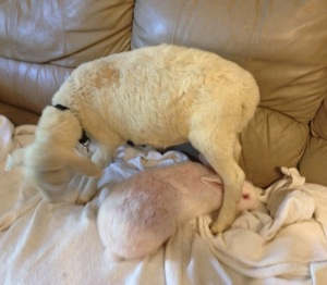 Bun-Bun is the lump under the sheep.